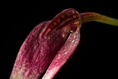 [Papua New Guinea] Bulbophyllum contortisepalum (Red form) J.J.Sm., Bull. Jard. Bot. Buitenzorg, sér. 2, 3: 75 (1912)