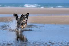 Ball and water (The Papa'razzi of dogs) Tags: animal beach bordercollie frisbee outdoor run ball dog fun hund nature pet reflection sand splash water hanstholm northdenmarkregion denmark