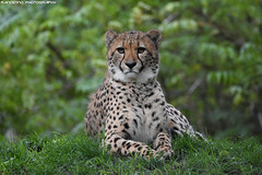 Cheetah - Allwetterzoo Munster (Mandenno photography) Tags: animal animals dierenpark dierentuin dieren cheetah allwetterzoomunster munster germany bigcat big cat cats bbcearth discovery nature natgeo natgeographic duitsland