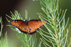 Queen butterfly on pineleaf milkweed (Stephen G Nelson) Tags: insect butterfly queenbutterfly milkweed flower botanicalgarden desert tucson arizona