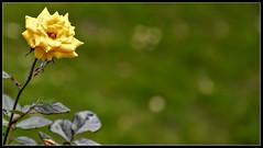 'Be that single flower in the garden, that everyone appreciates' (Ramalakshmi Rajan) Tags: nikon nikond750 nikkor24120mm flowers flower yellow rose roses inmygarden quotes