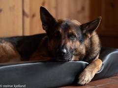 Draco (steinar.kjelland) Tags: panasonic dmcgx8 olympus m75mm f18 hund draco norge schæfer