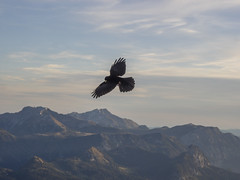PA120405 (turbok) Tags: rabenvögelcorvidae vögel wildtiere alpendohlepyrrhocoraxgraculus