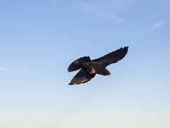 PA120451 (turbok) Tags: rabenvögelcorvidae vögel wildtiere alpendohlepyrrhocoraxgraculus