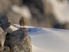 PA120351 (turbok) Tags: braunellenprunellidae vögel wildtiere alpenbraunelleprunellacollaris