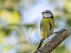 PA110243 (turbok) Tags: meise vögel wildtiere blaumeisecyanistescaeruleussynparuscaeruleus