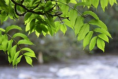 Over the Tame (jonathan_horne) Tags: nature stockport river tame leaves bokeh