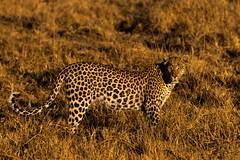 Last light... (lyn.f) Tags: leopard male pantherapardus bigcat big5 mammalswild okavangodelta okavangomagic deltamagic botswana africa safari pangolinphotosafaris nature naturelover