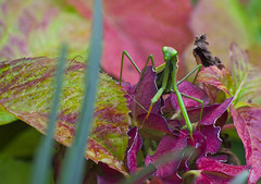 _DSC3071__DSC3092 (cgraziato) Tags: macro mantis mantide nature natura flore flower