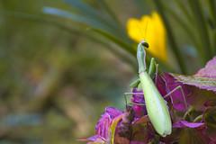 _DSC3069 (cgraziato) Tags: macro mantis mantide nature natura flore flower