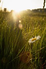 Wildflower sunrise (BrianEden) Tags: grass capecod beach sunrise flower daisy wildflower massachusetts light harwich chatham jackknifecove