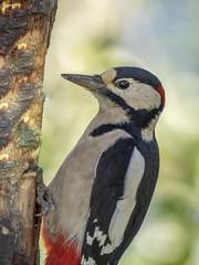 PA110225 (turbok) Tags: spechte vögel wildtiere buntspechtdendrocoposmajorsynpicoidesmajor