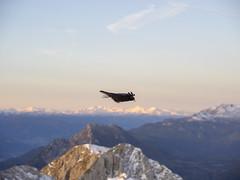 PA120274 (turbok) Tags: ennstal berge landschaft grimming rabenvögelcorvidae vögel wildtiere alpendohlepyrrhocoraxgraculus