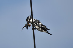 Pied kingfisher (praveen.ap) Tags: piedkingfisher kingfisher kaliveli