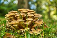 Hallimasch im Schlossgarten (KaAuenwasser) Tags: pilze pilz boden wiese gras gräser herbst laub sammlung pflanze natur schlossgarten anlage park garten 2019 licht schatten hdr bokeh hallimasch honigpilz