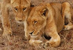 Lioness Social Bonding (DeniseKImages) Tags: wildlife africa cat lion lions lioness lionesses grass southafrica nature wild animal animals wildanimals wildanimal bigfive