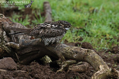 Common Nighthawk (Chordeiles minor) - Galgorm, Co Antrim, 12/10/19. (gcampbellphoto) Tags: common nighthawk chordeiles minor bird rarity northern ireland