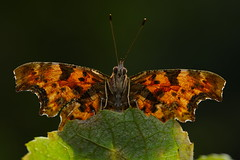 Polygonia c-album (6) (JoseDelgar) Tags: insecto mariposa polygoniacalbum 425876628733290 josedelgar naturethroughthelens sunrays5 specanimal specanimalphotooftheday coth coth5 alittlebeauty fantasticnature ngc npc
