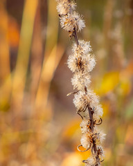 Feathery Seedheads (mahar15) Tags: october autumncolor autumn fall nature outdoors fallcolors organic seedheads feathery driedseedhead