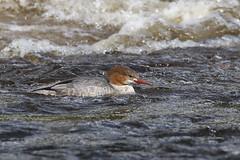 Goosander (f) (robin denton) Tags: mergusmerganser goosander bird duck boltonabbey northyorkshire yorkshire wildlife nature rnbwharfe riverwharfe wharfedale waterbird
