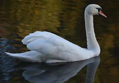 Elegant Swan (Jason Prince Photography) Tags: nikon d7200 deans eliburn reservoir west lothian jason prince photography october 2019 mute swan british wildlife waterfowl scotland sigma telephoto 150mm 600mm monopod