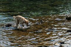 Barton Springs (fordc63) Tags: texas usa america unitedstatesofamerica tx lonestarstate spring austin atx dog labradorretriever bartonsprings bartonspringspool