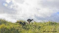 Racing on the dunes! (RCB4J) Tags: sony sony18250mmf3563dtaf sonyslta77v sonyalpha ayrshire ayrshirecoast art babygrace contrejour digitalphotography dobermanterrier dog dogwalkingphotography dune dunes endurance firthofclyde gailes irvinebeach jakob on1 on1pics on1photoraw2019 photography rcb4j ronniebarron siameselurcher trailhound trailie sunshine sunlight