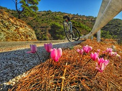 Cyclamen on the road (panoskaralis) Tags: cyclamine flowers wildflowers plants wildplants nature greeknature outdoor landscape mountainview mountains mountainside road roadtrip bike idealbikes cycling countryroad country lesvos lesvosisland mytilene greece greek hellas hellenic greekisland nikoncoolpixb700 nikon nikonb700 autumn trees pine forest