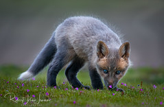 Mixed Fox Kit (~ Bob ~) Tags: fox nikon babyanimals cute nature baby feisol washingtonstate animal wildlife nikond500 amazingnature foxy foxes foxkit kit pacificnorthwest mammal d500