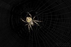 Humpbacked Orbweaver (jciv) Tags: spider mission texas unitedstatesofamerica file:name=dsc02956 macro arachnid web spiderweb orb weaver