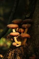 IMG_3413 (ChPflügl) Tags: salzburg österreich austria autumn fall herbst spazieren puch bei hallein urstein sunshine altweibersommer salzach kitsch chpflügl chpfluegl christian europe europa eu world erde pilze schwammerl mushrooms