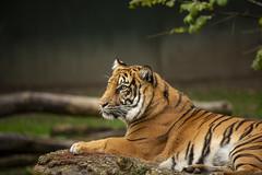 Sumatra-Tiger - Panthera tigris sumatrae (DeanB Photography) Tags: 1dx 2019 animals canon deanb rheine tier tiere tierpark tierwelt zoo animal tierfotograf panthera tigris sumatrae sumatratiger