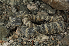 South-western Speckled Rattlesnake (Crotalus pyrrhus) (jakemeney) Tags: south western speckled rattlesnake crotalus mitchelli pyrrhus snake reptile venomous herping