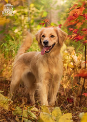 Picture of the Day (Keshet Kennels & Rescue) Tags: adoption dog dogs canine ottawa ontario canada keshet large breed animal animals kennel rescue pet pets field nature autumn fall photography happy smile golden retriever pose forest bush colourful colorful leaves