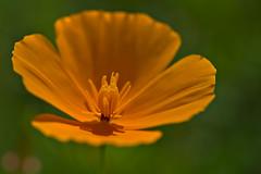 California Poppy (pstenzel71) Tags: blumen natur pflanzen californiapoppy goldmohn eschscholziacalifornica darktable flower bokeh