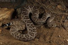 Western Diamondback Rattlesnake (Crotalus atrox) (jakemeney) Tags: western diamondback rattlesnake crotalus atrox snake venomous reptile arizona herping