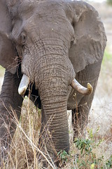 Curious George (DeniseKImages) Tags: wildlife africa grass southafrica nature wild animal animals wildanimals wildanimal elephant elephants tusk tusks bigfive