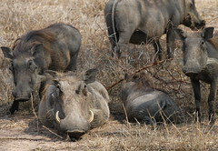 So Ugly We're Cute (DeniseKImages) Tags: wildlife africa grass southafrica nature wild animal animals wildanimals wildanimal warthog warthogs tusk tusks hog hogs