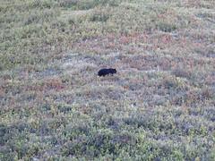 Black Bear (pamfromcalgary) Tags: animal blackbear kananaskis nature pamhawkes