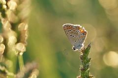 Je bulle et vous ? (passionpapillon) Tags: macro papillon butterfly insecte bokeh bulles passionpapillon 2019 ngc npc