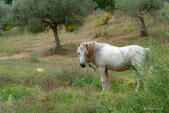 Dans les collines de Panicale (Pascale_seg) Tags: umbria ombrie italia italie italy collines oliviers olives campagne countryscape countryside vert green verde country campo été estate summer champ cheval horse cavallo panicale earth nature natura nikon