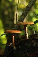 IMG_3418 (ChPflügl) Tags: salzburg österreich austria autumn fall herbst spazieren puch bei hallein urstein sunshine altweibersommer salzach kitsch chpflügl chpfluegl christian europe europa eu world erde pilze schwammerl mushrooms