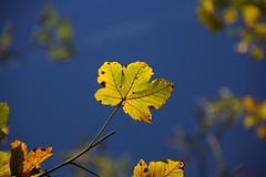 IMG_3439 (ChPflügl) Tags: salzburg österreich austria autumn fall herbst spazieren puch bei hallein urstein sunshine altweibersommer salzach kitsch chpflügl chpfluegl christian europe europa eu world erde
