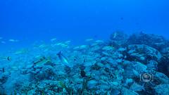 Sea Emperor Wreck and Reef Dive October 04, 2019 BLS-101BLS209 (brianlusmith) Tags: scuba divers scubadivers padi ocean diving coral reef fish rock underwater water sealife wreck saltwater