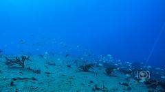 Sea Emperor Wreck and Reef Dive October 04, 2019 BLS-138BLS246 (brianlusmith) Tags: scuba divers scubadivers padi ocean diving coral reef fish rock underwater water sealife wreck saltwater