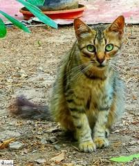 Gatito lindo. (In Dulce Jubilo) Tags: andalucia andalusia animal animals gato cat kitten mother mami gatita colors colores ojos eyes espagne españa spanien spain pet