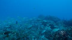 Sea Emperor Wreck and Reef Dive October 04, 2019 BLS-98BLS206 (brianlusmith) Tags: scuba divers scubadivers padi ocean diving coral reef fish rock underwater water sealife wreck saltwater