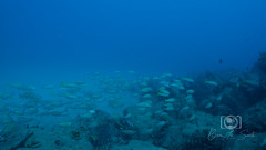 Sea Emperor Wreck and Reef Dive October 04, 2019 BLS-108BLS216 (brianlusmith) Tags: scuba divers scubadivers padi ocean diving coral reef fish rock underwater water sealife wreck saltwater