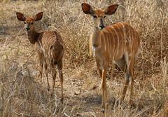 Young Kudu (DeniseKImages) Tags: wildlife africa grass southafrica nature wild animal animals wildanimals wildanimal kudu greaterkudu youngkudu antelope