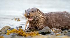 Otter (Chas Moonie-Wild Photography) Tags: otter wild mammal fish sea loch scotland